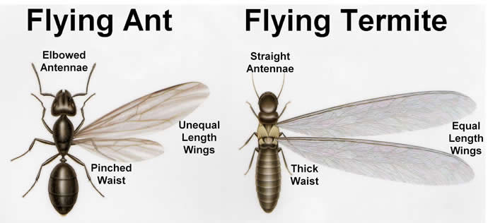 Difference Between Flying Ants And Flying Termites Western Allpest Services Pest Control Specialist In Bunbury South West
